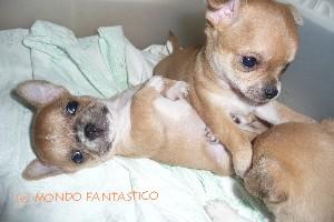 Labirinto, gioco per bambini: il chihuahua Kiko vuole giocare con i fratellini