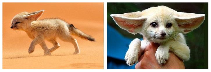 Volpe del deserto (Fennec)