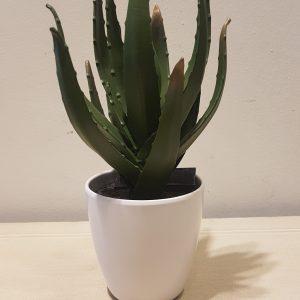 aloe in vaso
