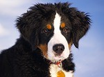 bernese-mountain-dog-67266_150