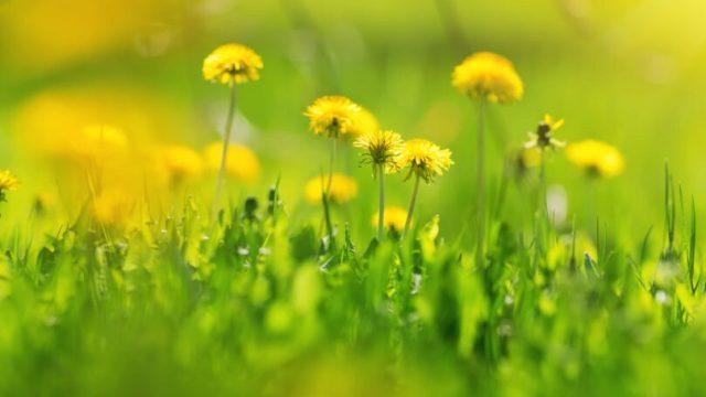 Yellow Dandelions In Field Grass