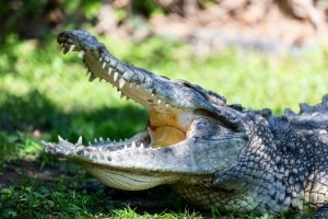 Crocodile on grass with mouth open