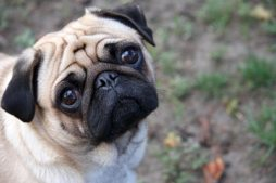 moneymagpie_dog-walking-make-60-an hour-while-getting-fit_pug-dog