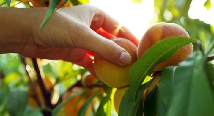 Picking fruit for cash