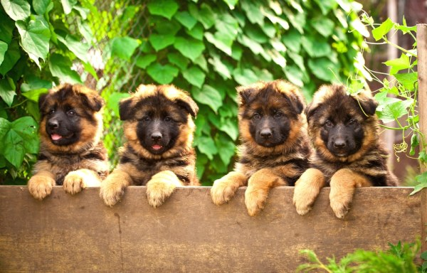 German Shepherd puppies looking over a fence