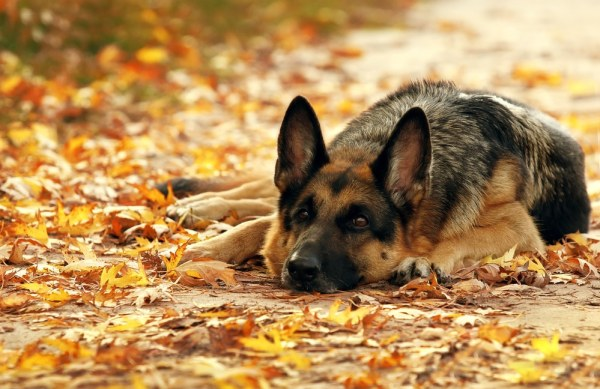 German Shepheard dog lying in autumn leaves