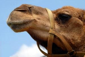 MoneyMagpie_Camel
