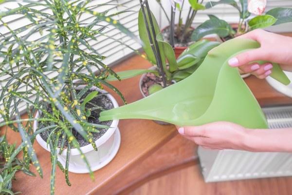 Green watering can watering houseplants
