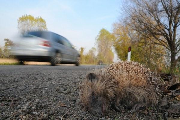 Dead hedgehog at side of road