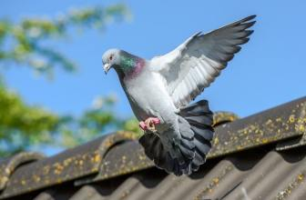 How to make money with pigeon racing