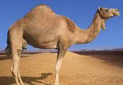 one hump