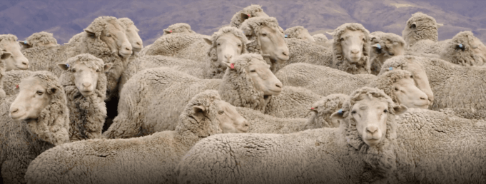 A heard of sheep with wool