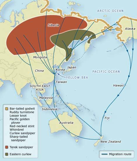 Jalur lintas (flyway) Migrasi Burung Asia Pasifik. Sumber: www.teara.govt.nz