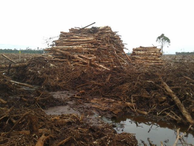 Tumpukan kayu alam dari hutan gambut yang sudah dihancurkan di konsesi PT RAPP di Pulau Padang, Riau, Indonesia, Mei 2014. Foto : Zamzami