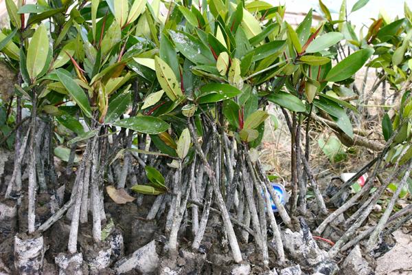 Bibit mangrove siap ditanam di tepian pantai buat mengatasi abrasi. Foto: Ayat S Karokaro