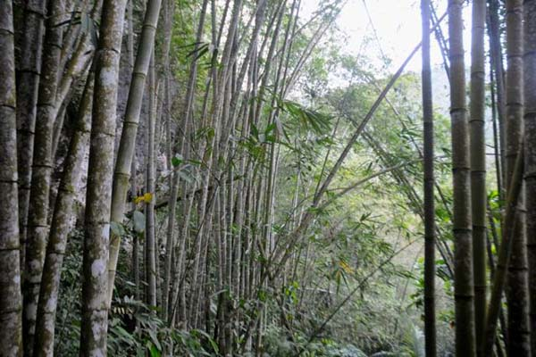 Bambu di hutan adat. Untuk mengambil bambu ini mereka memiliki tata cara sendiri. Bagi yang mengambil bambu tanpa izin meskipun keluarga sendiri dianggap sebagai pencurian. Foto: Eko Rusdianto