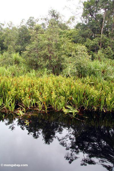 фото: lillies воды и pandanus пальмы вдоль реки Блэкуотер ...