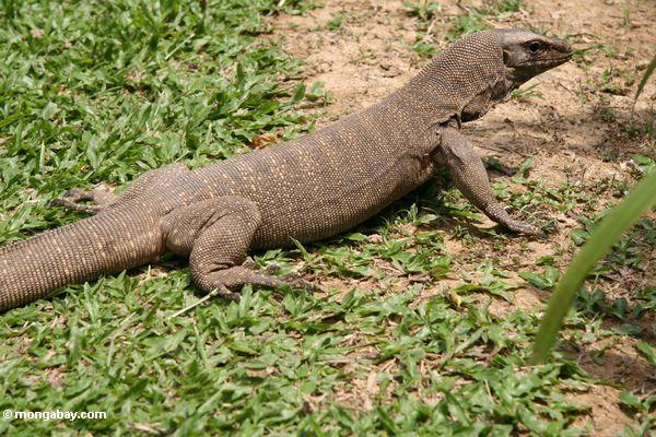 Image result for monitor lizard