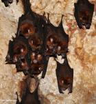 Esili e semi-atrofizzate, le zampe posteriori dei pipistrelli non sono in grado di sorreggere il peso del corpo