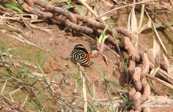 фото: callicore cynosura бабочка питания на полезные ...