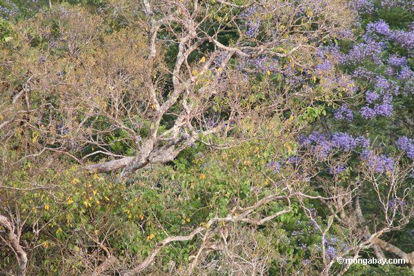 фото: синий, возглавляемых попугай, pionus menstruus с ...