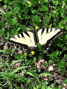 A butterfly that we stumbled onto at the KPC Peace Park.