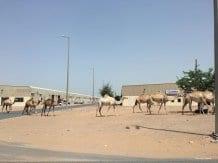 RAS EL-KHAIMA, UAE. ¿Por qué no pueden los camellos cruzar la carretera?