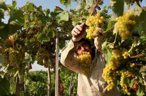 GAZA, PALESTINA: Trabajo de viticultura en Gaza