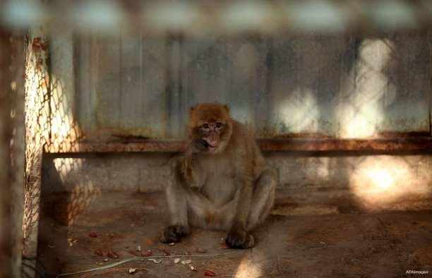 KHAN YUNIS, FRANJA DE GAZA: Evadiendo el bloqueo, un mono espera a pasar un control médico antes de ser trasladado fuera de la sitiada Franja de Gaza