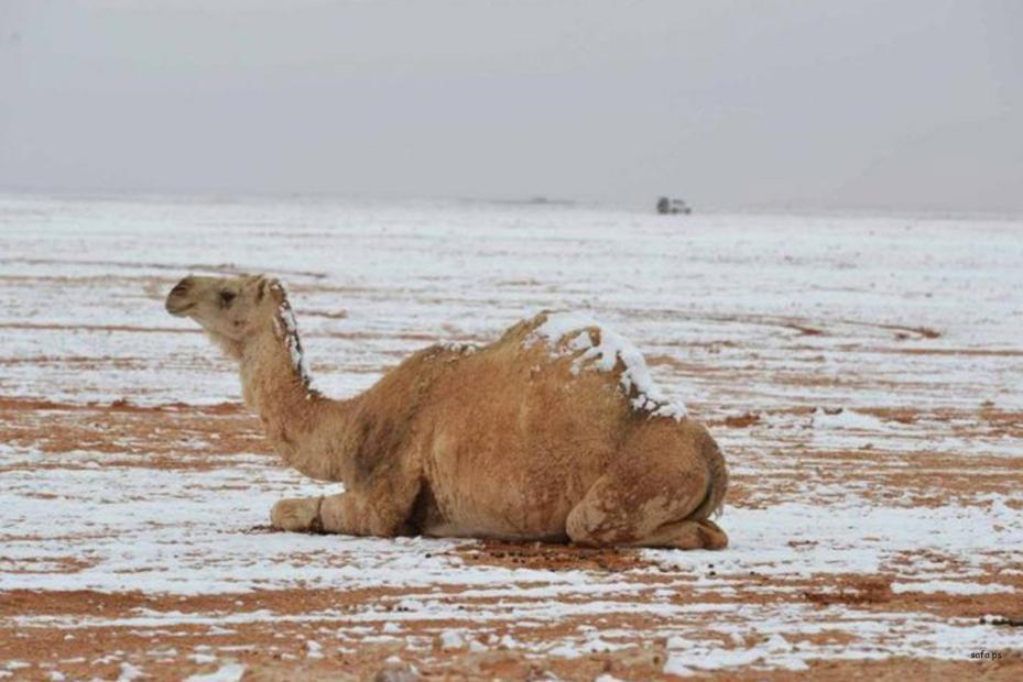 Camellos cubiertos por la nieve en Arabia Saudí (safa.ps)