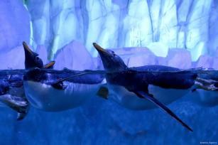 ESTAMBUL, TURQUÍA - Los pingüinos Gentoo son los pingüinos nadadores submarinos más rápidosdel mundo, alcanzando velocidades de hasta 35 km por hora. Recogen las piedras del fondo del mar y se las regalan a sus seres queridos.