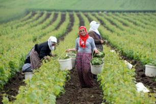 TOKAT, TURQUÍA- Las mujeres cosechan hojas de vid ingrediente básico para el plato tradicional. Hojas de parra rellenas de arroz y verduras.