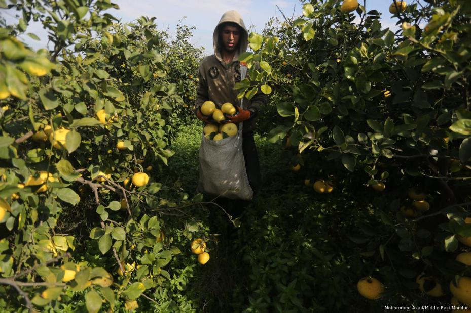 Los agricultores comienzan a recolectar cítricos en Gaza [Mohammed Asad / Middle East Monitor]