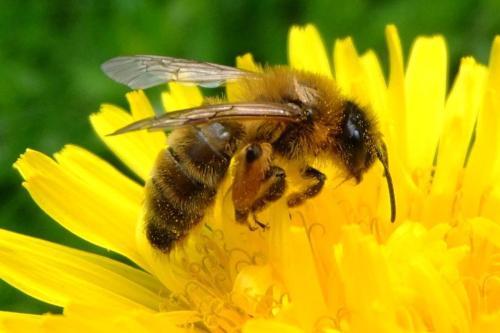 Los expertos afirman que la abeja turca condenada a muerte…