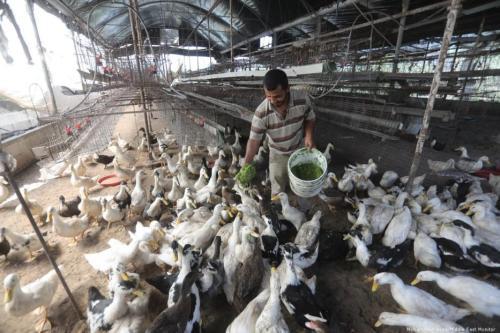 Nuevas ideas para la alimentación animal en Gaza