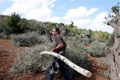 Colonos israelíes arrancan cientos de árboles en Belén