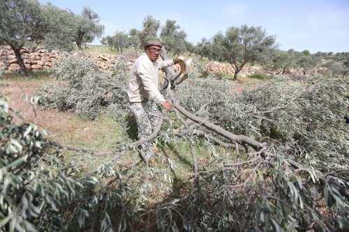 Israel arranca miles de árboles de tierras palestinas en la…