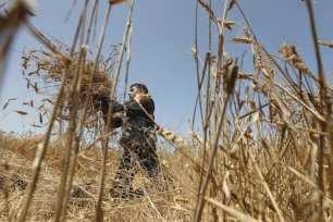 Comienza la cosecha de cereales en Gaza, el 3 de mayo de 2021 [Mohammed Asad/Middle East Monitor].
