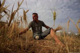 Sohaib Qudeh, de 27 anos, ferido durante os protestos da Grande Marcha do Retorno, trabalha nos campos de sua família, na cidade de Khan Younis, no sul de Gaza, junho de 2019 [Loai el-Agha/Monitor do Oriente Médio]