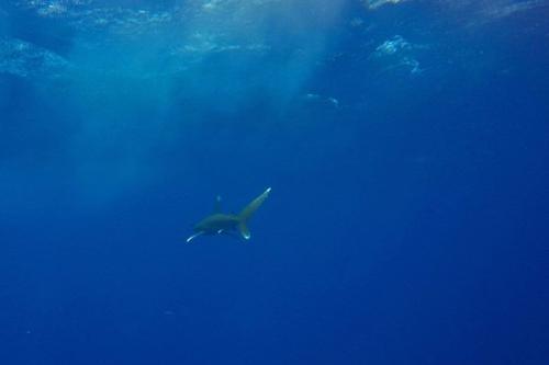 Um tubarão whitetip oceânico no azul do mar perto do local de mergulho do recife Elphinstone na costa de Marsa Alam no Mar Vermelho egípcio, em 9 de outubro de 2018. (Andrea BERNARDI / AFP via Getty Images)