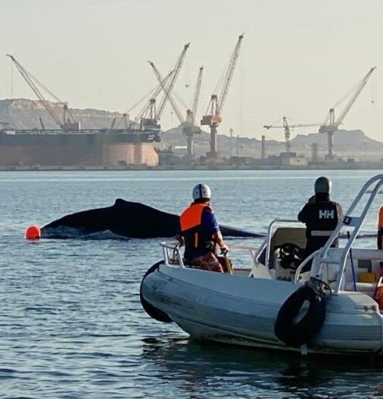 Uma baleia jubarte, espécie em risco de extinção no Mar Árabe, é resgatada após encalhar no Porto de Duqm, em Omã [Porto de Duqm/Twitter]