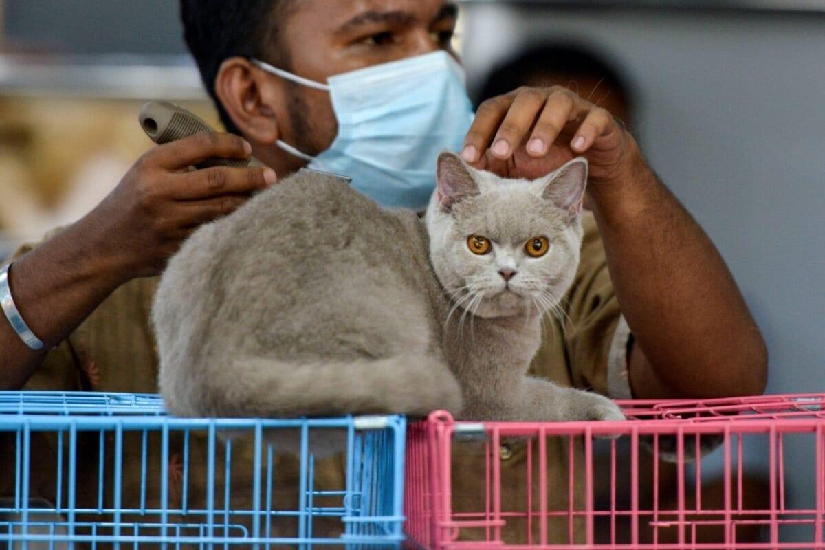 Homem escova um gato em 28 de fevereiro de 2021 [Chaideer Mahyuddin/ AFP via Getty Images]