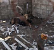 Cara organização PETA, saiba que o histórico dos direitos animais de Israel deixa muito a desejar