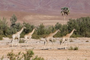 Giraffen im Hoarusib Riverbed.