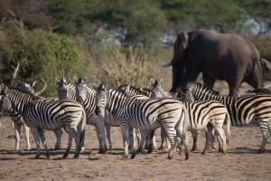 ...Zebras und Elefanten schon eher.