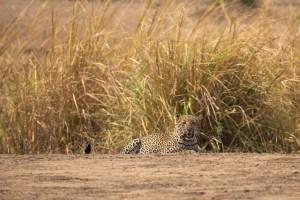 Das Highlight ist aber dieser Leopard. Er wartet zuerst im Gras, ...