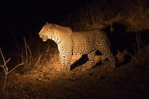 Wieder haben wir Leoparden-Glück.