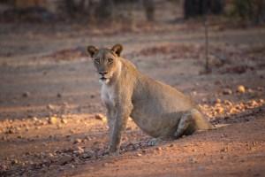 Nebendran beäugt uns eine schwangere Löwin.