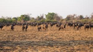 Bei einer Geführten Tour im Nsefu-Sektor treffen wir auf eine Büffelherde.