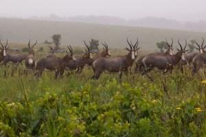 Blessböcke sind eine Antilopenart, die wir bisher noch nicht gesehen haben.